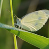 7/14/12  Portrait of a Cabbage White