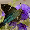 10/23/12  Long-tailed Skipper (Urbanus proteus) on Petunia