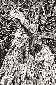 11/18/12  Twisted Tree
