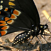 8/2/12  Eastern Black Swallowtail