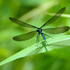 5/30/12  Ebony Jewelwing Damselfly (Calopteryx maculata, male) fluttering its wings