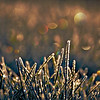 12/22/12<br /> <br /> Christmas Lights in Frozen Fescue
