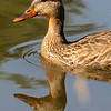 7/17/12  Quacker  Have a quacked up day.  Tell a joke and quack somebody up.  Ask someone to tell you a joke and get quacked up yourself.  Had to take a break from insects today so I am giving you this hen Mallard for consideration.