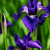 5/25/12 - Small Purple Irises