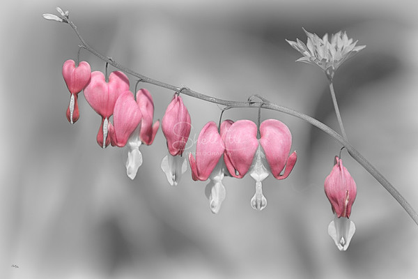 Bleeding Hearts in Heaven