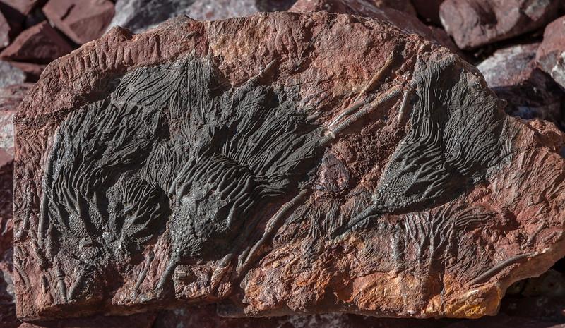 Fossil Crinoids, Morocco