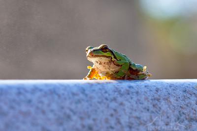 Frog in Grayland, Washington