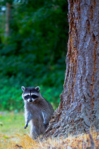 Raccoon: Puyallup, Washington