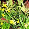 Daffodils in bloom in Torino