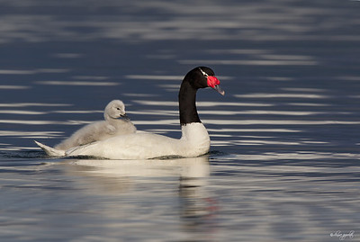 Black-necked Swan w/ cygnet