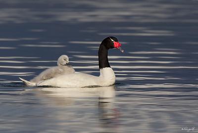 Black-necked Swan w/ cygnet