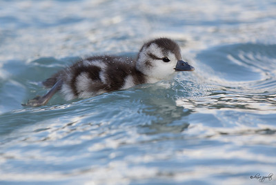 Torrent Duck, chick