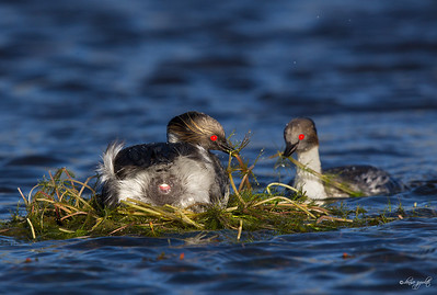 Silvery Grebe pair buliding nest, laying egg