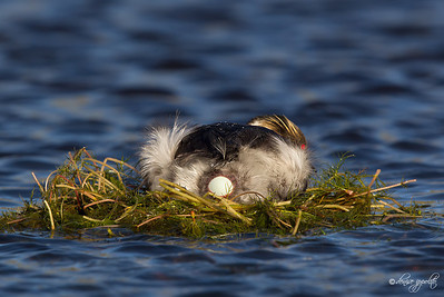 Silvery Grebe laying egg