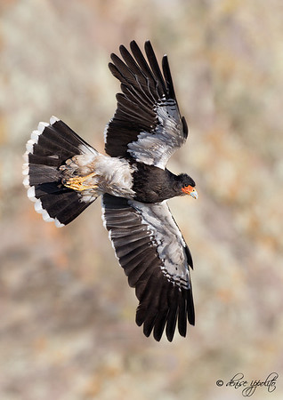 Caracara from Chile