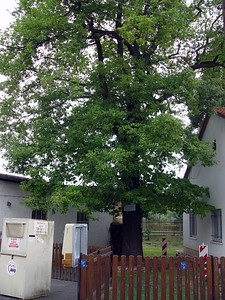 2005-09-10_06237 Luthereiche in Silbitz - gepflanzt anlässlich des Reformationsfestes am 31.10.1844Luthereiche (oak tree named after Martin Luther) in Silbitz - planted for the reformation celebrations on October 31th 1844
