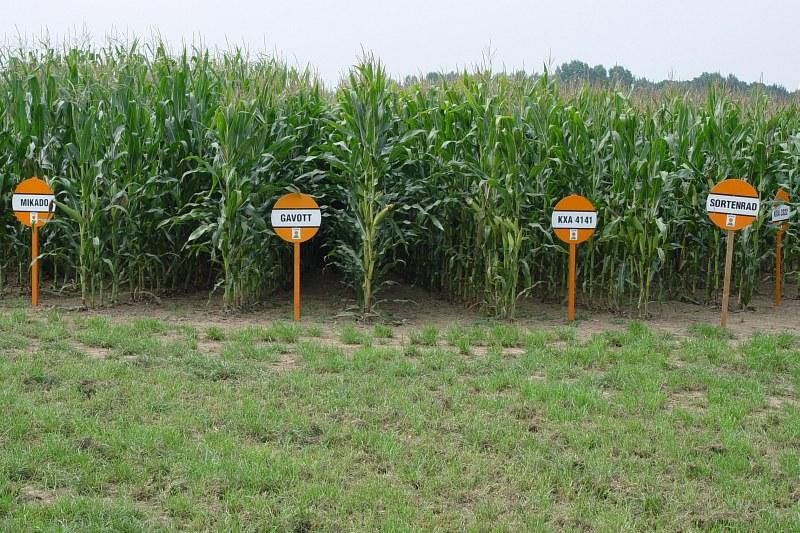 2005-09-10_06214 ein Haufen verschiedene Maissorten! a whole lot of different kinds of corn!