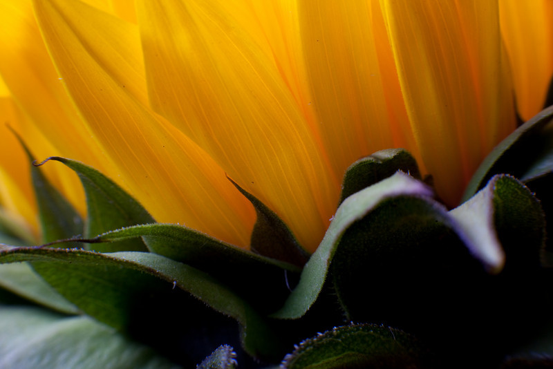 "Intimate scenes of nature... beautiful soft petals.  Rarely seen, ""up close and personal"" gentle underside of a sunflower..."