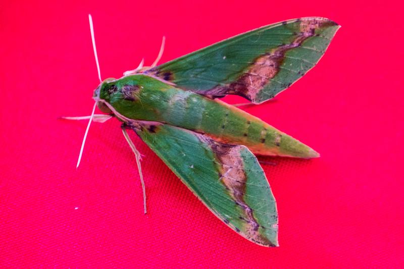 Sphinx Moth (Adhemarius palmeri)