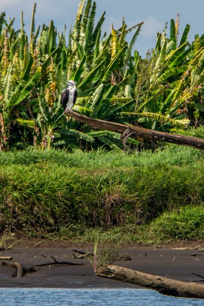 Osprey- Aguila pescadora