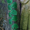 Epiphytic Vine - Monstera tenuis