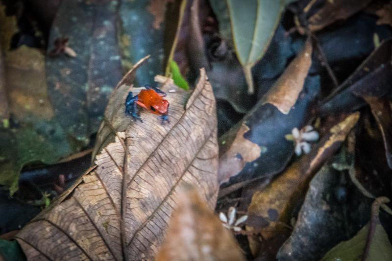 Blue Jeans Dart Frog
