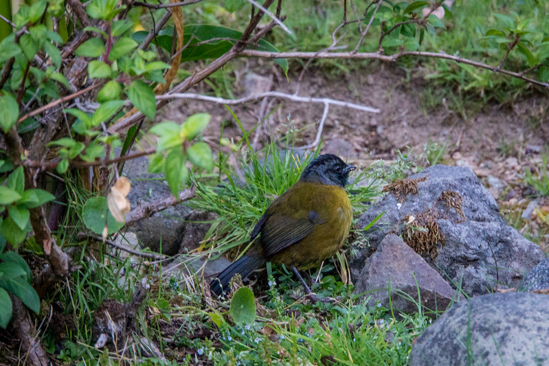 Larged-footed Finch
