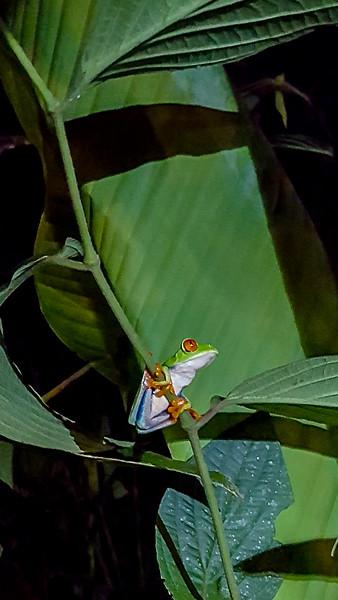 Gaudy Leaf Frog