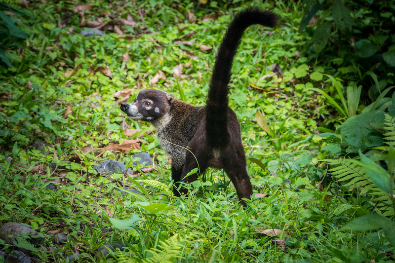 White-nosed Coati- Pizote