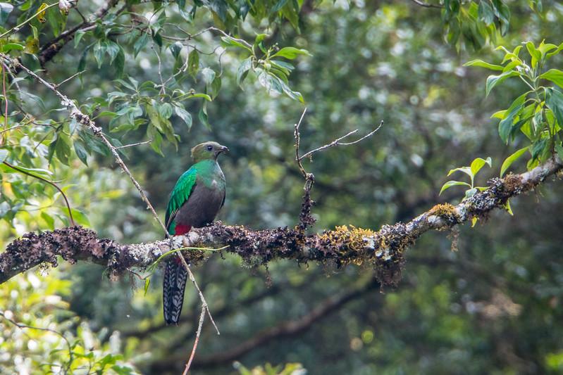 Resplendent Quetzal - Female