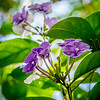 Yesterday, Today and Tomorrow - Brunfelsia
