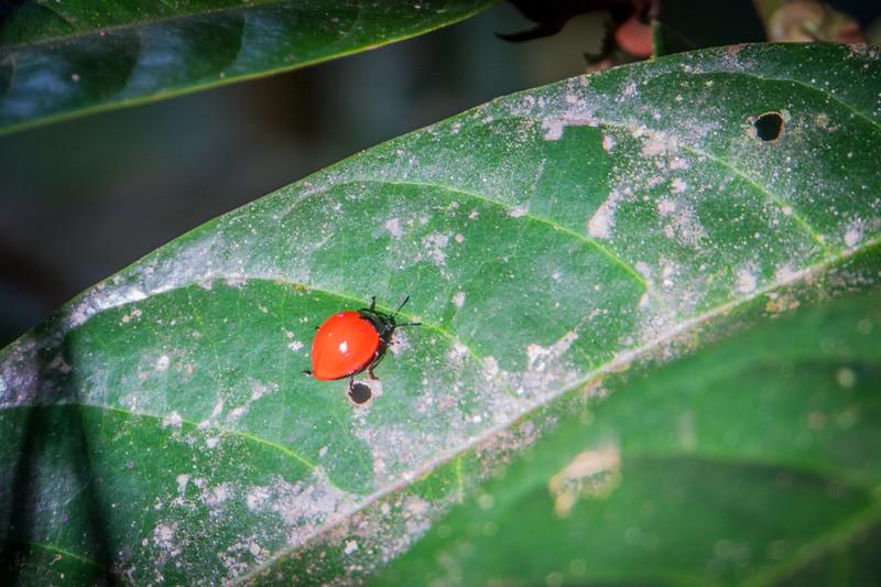 Lady Bug Beetle