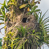 Great Kiskadee Nest