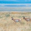 Pronghorn, Antelope Flats