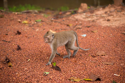 Some monkeys follow our vehicle as we enter the Angkor Conservation Area