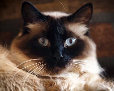 If Ellie has Snocat's coloring, Milo has Sno's fur