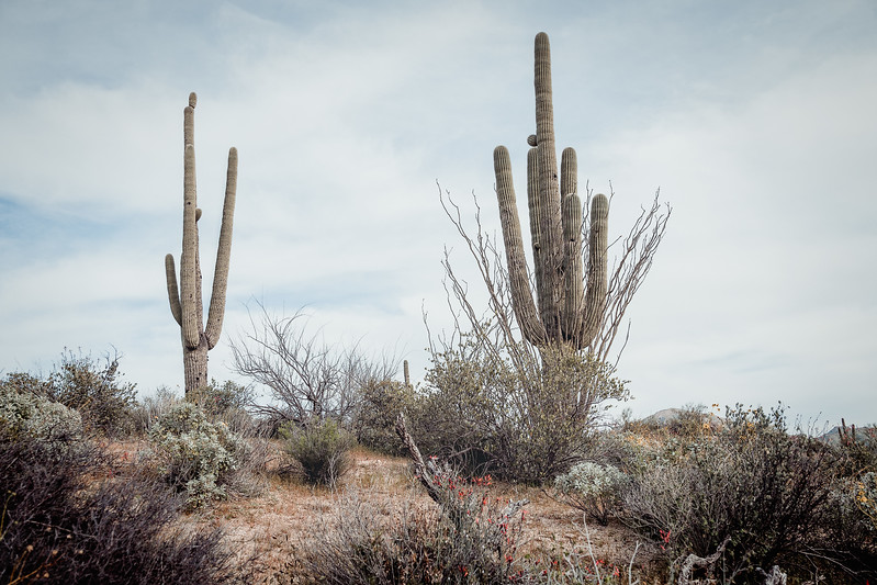 An ocotillo cactus appears to surround a saguaro cactus, but it is actually growing to one side of the plant.