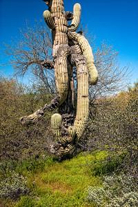 Mutant Saguaro II