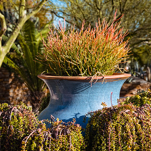 Fire Stick plant in a large blue vase.