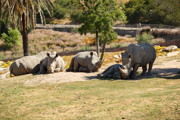 Our truck approaches a herd of white rhinoceros