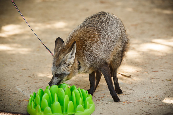 The trainers put something on this plastic thing that the fox likes to lick