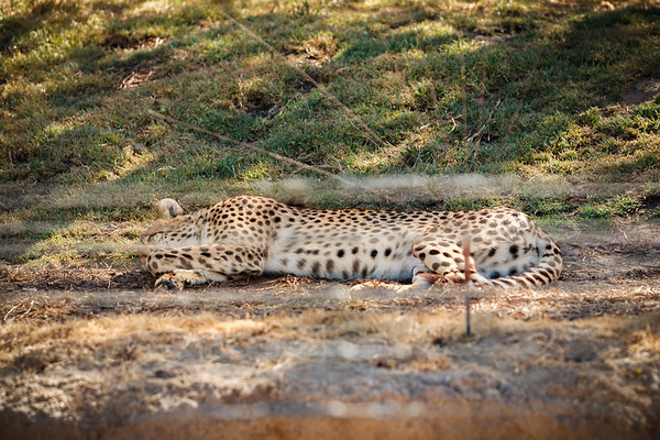 Our view of cheetahs from the Cheetah Safari was vastly superior to what we now get from the tram