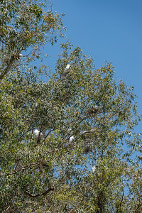 """As we step back outside, we see Egrets nesting in a nearby tree.  Lynea refers to these trees as """"The Boroughs""""...and no one wants to live in the neighboring tree she calls """"New Jersey""""."""