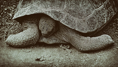 A young Galapagos tortoise rests quietly in the breeding center, Arnaldo Tupiza, on Isabela Island.