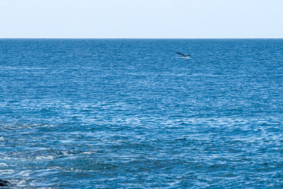 This is the beginning of the Humpback Whale migration season...and we're lucky to see a few off the coast