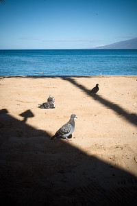 I find pigeons on Maui...disappointed!