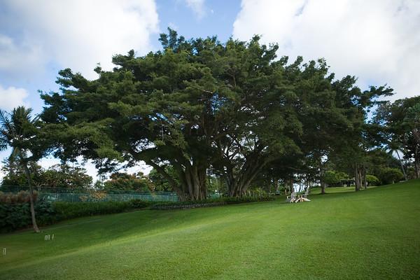 This banyan tree overlooks the pavilion