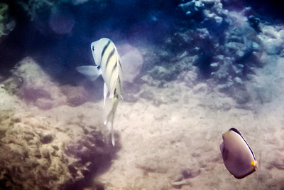 A Convict Tang and an Orangespine Surgeonfish