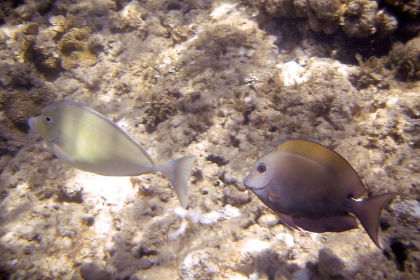 Bluespine Unicornfish and perhaps some kind of Surgeonfish