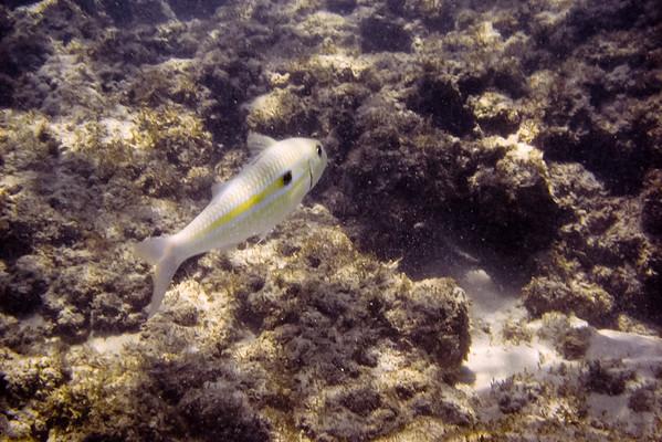 Yellowstripe Goatfish